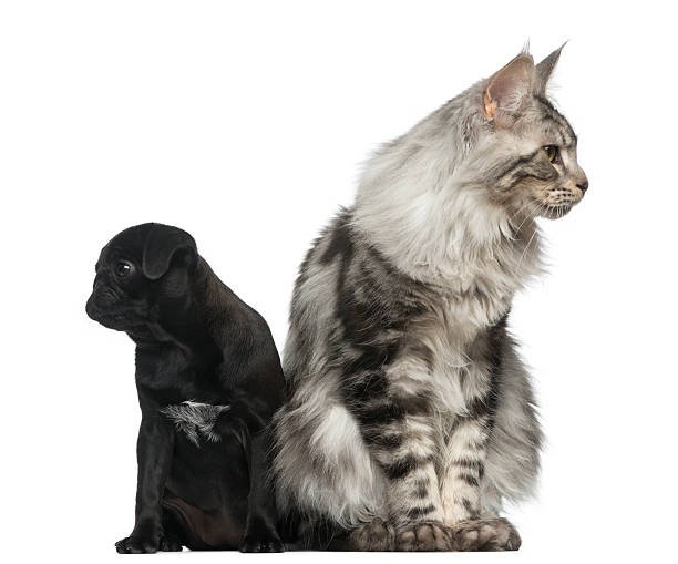Maine coon and pug puppy picture id513367496?b=1&k=6&m=513367496&s=612x612&w=0&h=vumqxyleuhqxn9pfu bqerhoc27e2i92r3xhtr2mvrw=