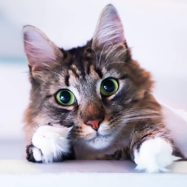 maine coon och sibirisk cross katt tittar på kameran. - djuröga bildbanksfoton och bilder