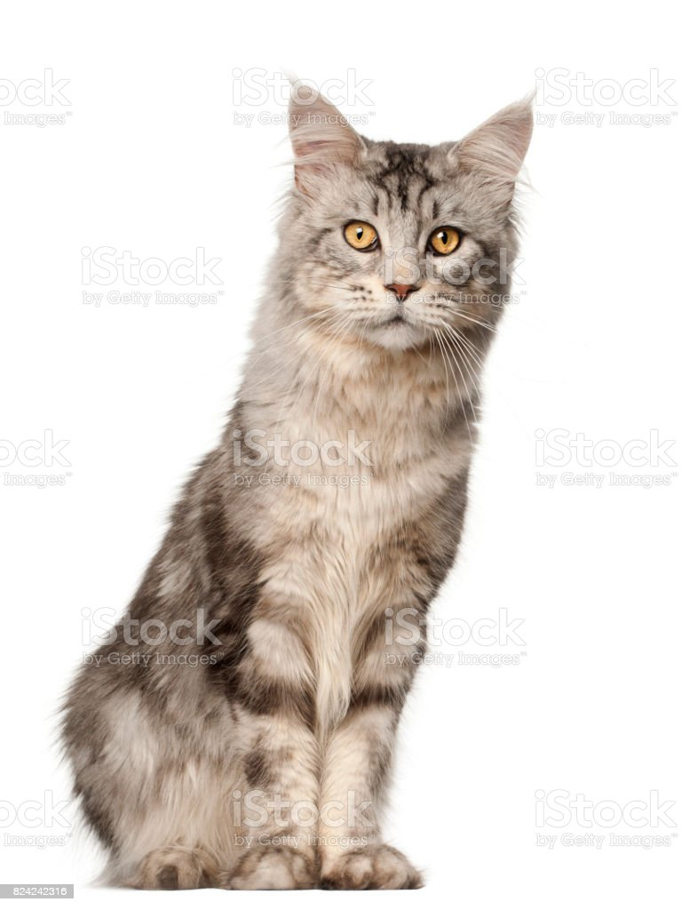 Maine Coon Cat 1 Year Old Sitting In Front Of White Background