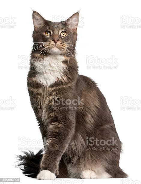 Maine coon cat 11 months old sitting picture id510693208?b=1&k=6&m=510693208&s=612x612&h=z6in4dkkdggx9u0fjzdnxtxblsqynpplzfpbblv2oki=
