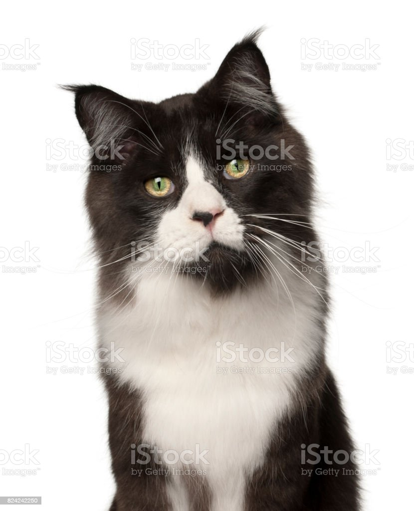 Maine Coon cat, 15 months old, in front of white background stock photo
