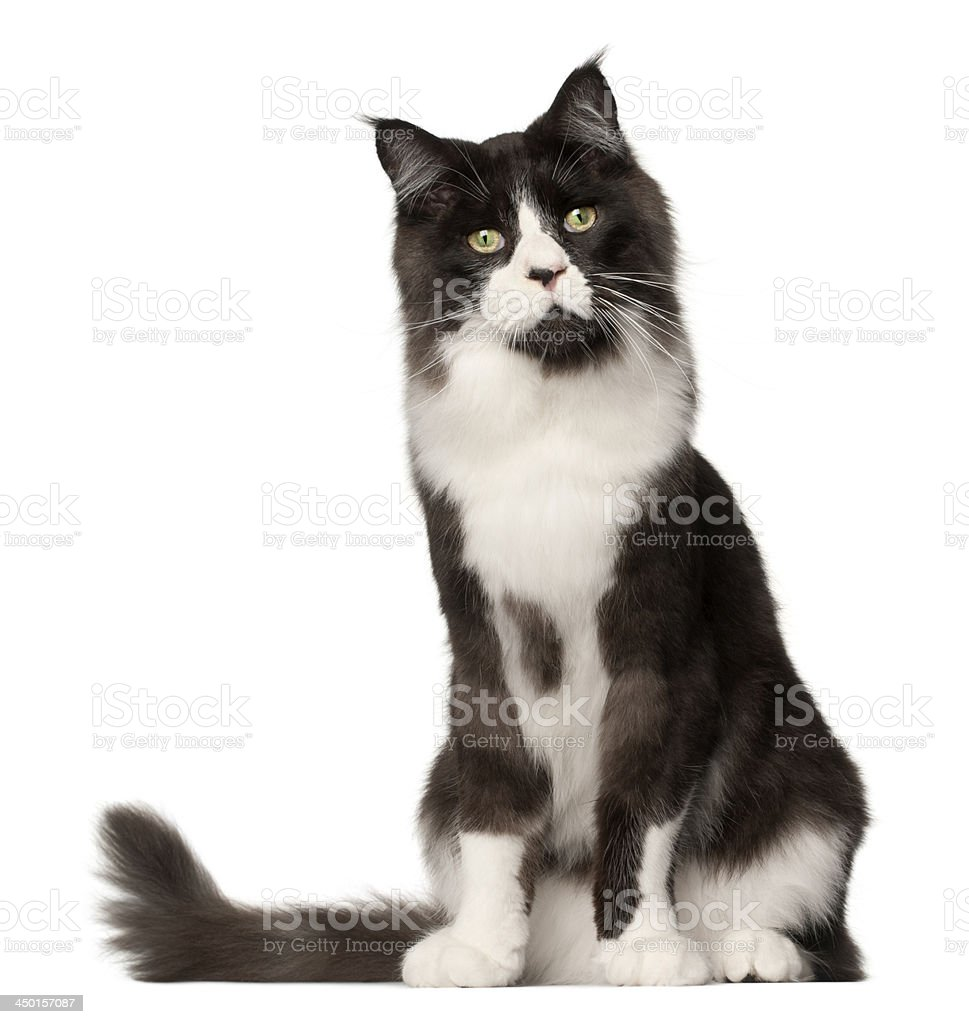 Maine Coon cat, 15 months old stock photo