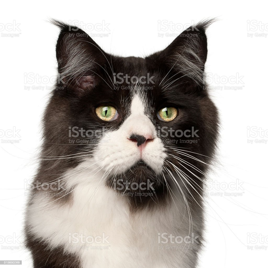Maine Coon cat, 15 months old, stock photo