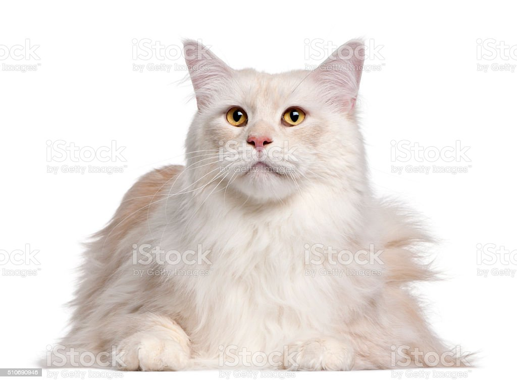 Maine Coon cat, 3 years old, stock photo