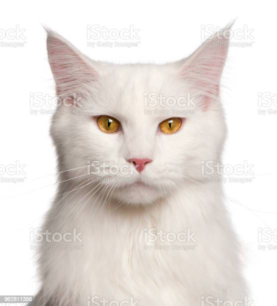 Maine coon cat 8 months old portrait in front of white background picture id962811356?b=1&k=6&m=962811356&s=612x612&h=krsppj 7vehkfik6xok6k9m1hwrevzk wrng8qndg o=