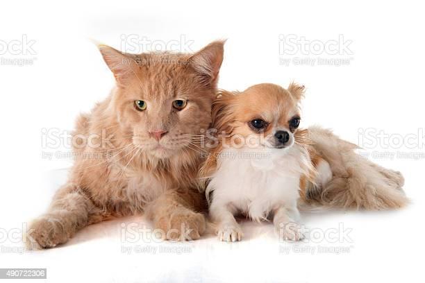 Maine coon cat and chihuahua picture id490722306?b=1&k=6&m=490722306&s=612x612&h=mbbm4edsiremjrokanepbwcwxfh81q3f131jzrudvuy=