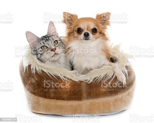 Maine coon cat and chihuahua picture id505968734?b=1&k=6&m=505968734&s=612x612&h=8ujz18aqonqjpgyexmz0wskw dtldwikazz tf4zaro=