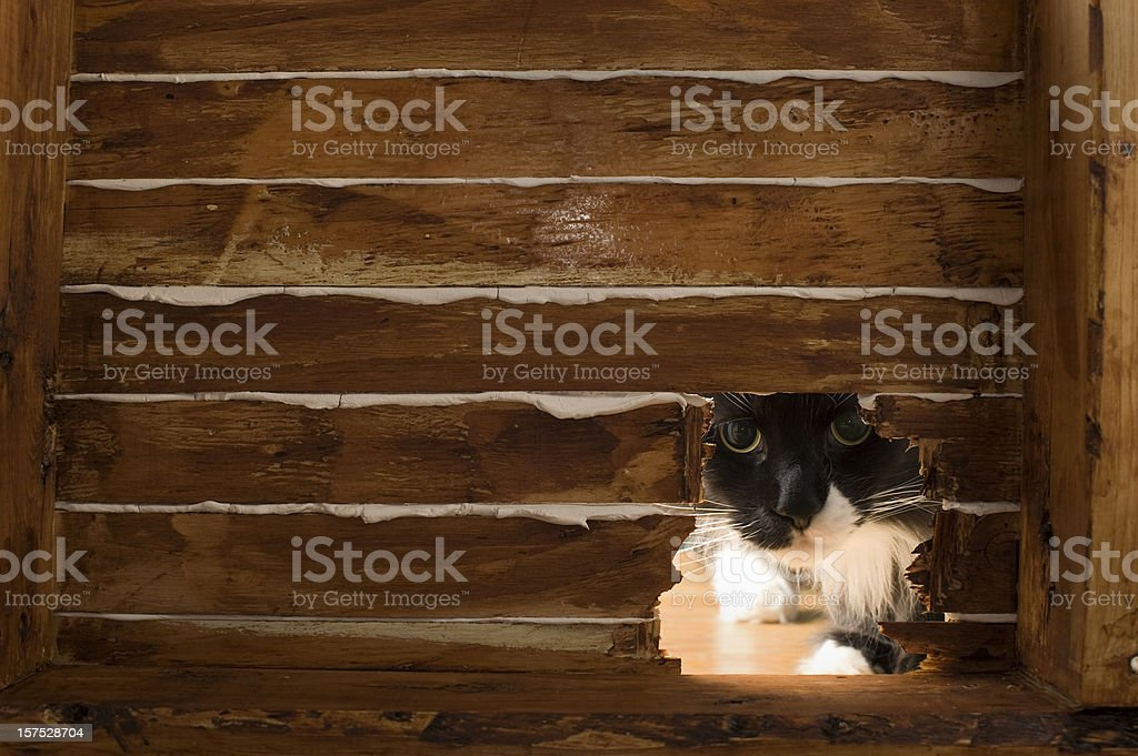 Maine Coon Cat at a Mouse Hole stock photo