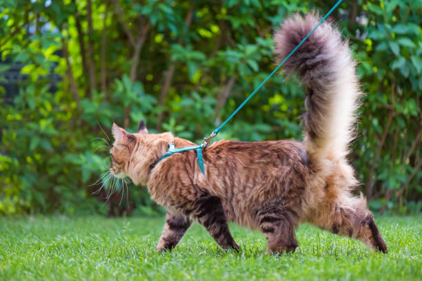 maine coon cat at park - cat leash stock photos and pictures