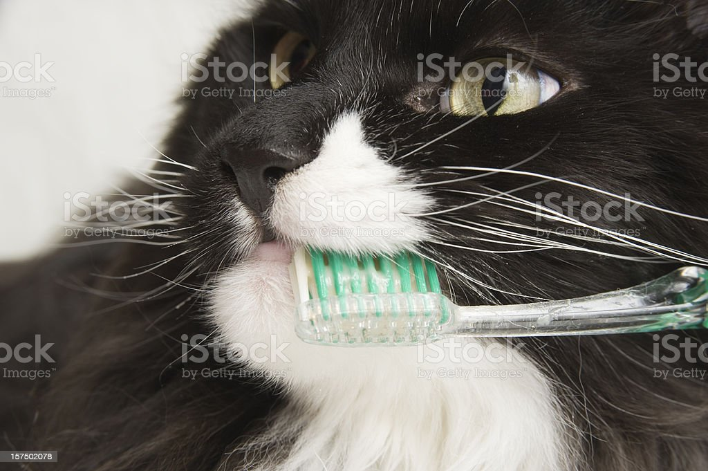 Maine Coon Cat Dental Hygiene. royalty-free stock photo
