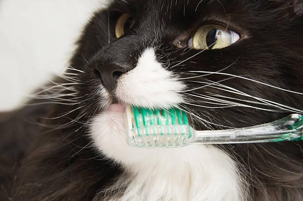 Maine Coon Cat Dental Hygiene. stock photo