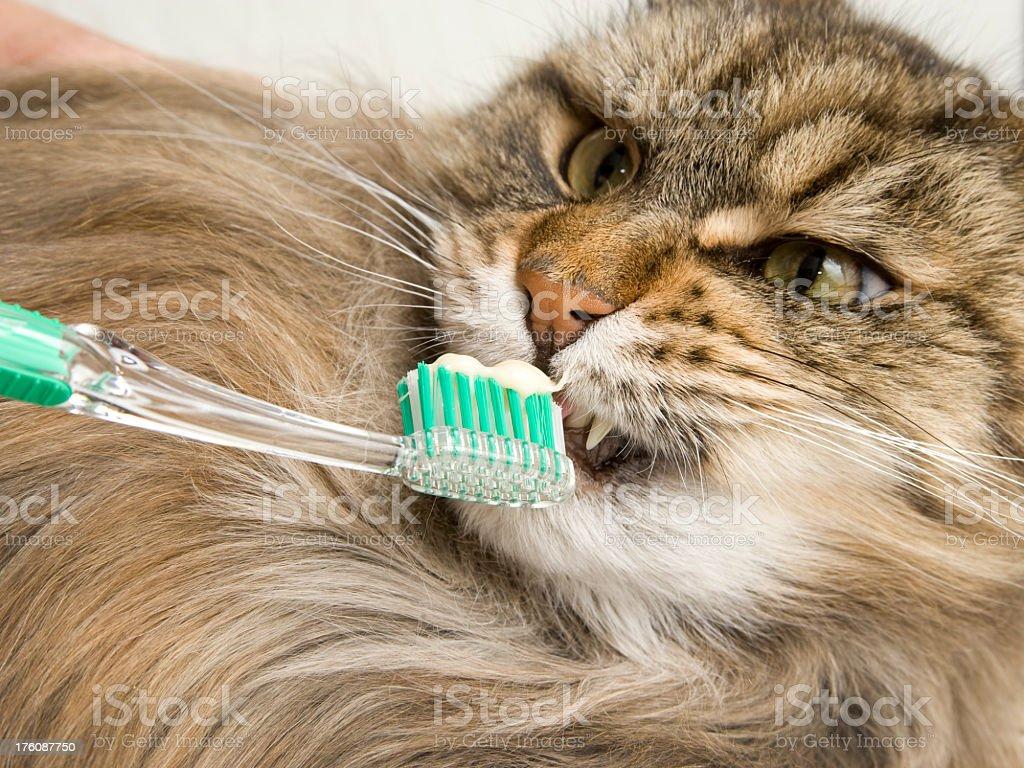 Maine Coon Cat Dental Hygiene. royalty-free stock photo