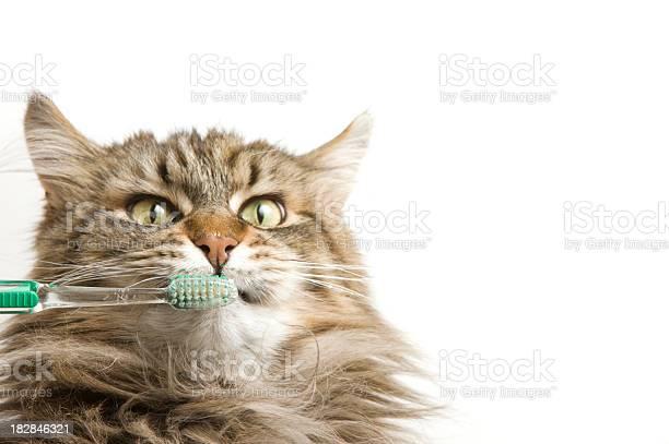 Maine coon cat dental hygiene picture id182846321?b=1&k=6&m=182846321&s=612x612&h=uxt9xhplwzbvrg6lpjw9jl14uhmgx3sp9dmir665glc=