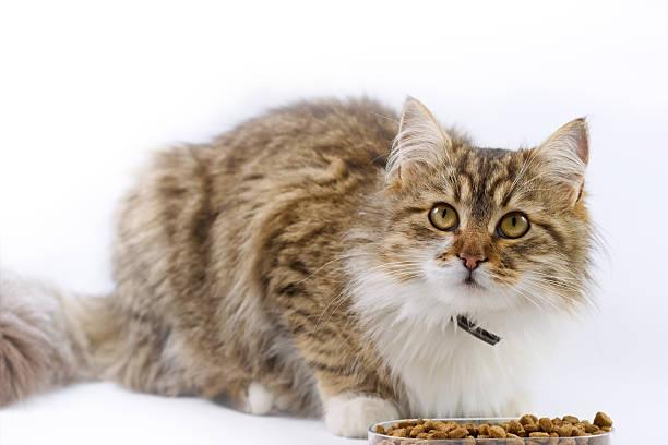 Maine coon cat eats picture id489088017?b=1&k=6&m=489088017&s=612x612&w=0&h=mnxmhbjiefi0dbpz7 cqhqofdygzqfy2uxxfmguwav0=