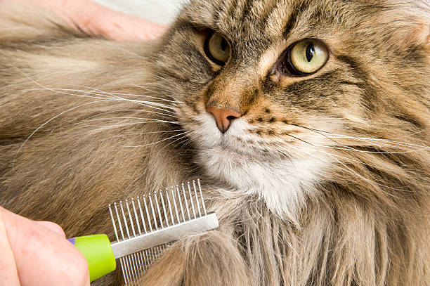 Maine Coon Cat Grooming or combed and Brushed stock photo