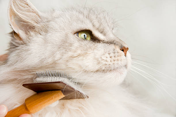Maine Coon Cat Grooming. stock photo