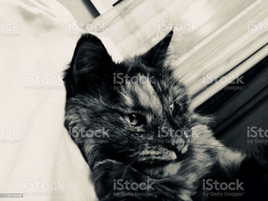 happy lying cat. Maine coon cat. Black and white