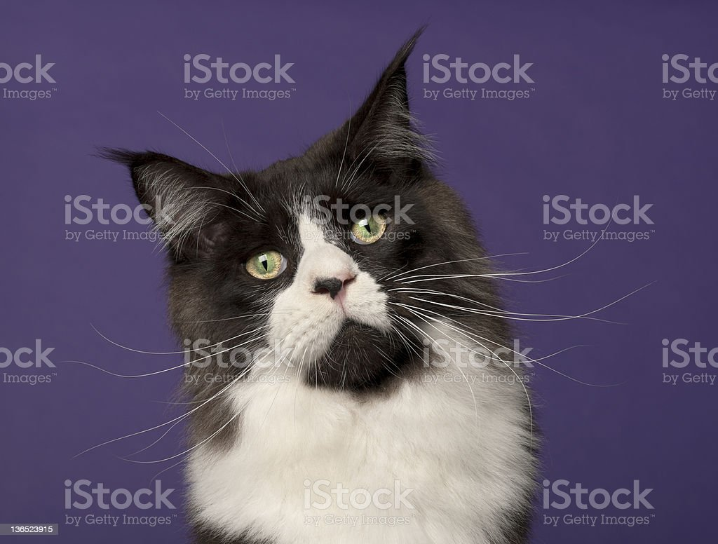 Maine Coon cat, in front of purple background stock photo