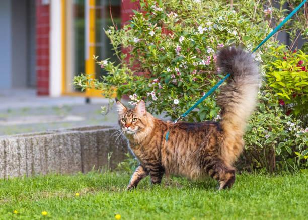 maine coon katze im park - katzengeschirr stock-fotos und bilder