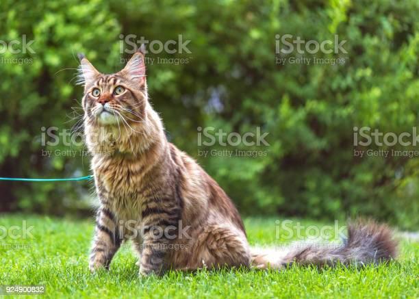Maine coon cat in park picture id924900832?b=1&k=6&m=924900832&s=612x612&h=gl c lriuhogen6osks41ya zjxsnb9f1r6jjy2lgag=