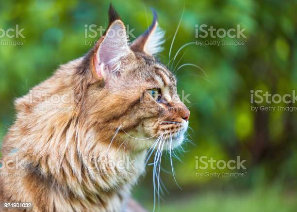 Maine coon cat in park picture id924901032?b=1&k=6&m=924901032&s=612x612&h=eci89edioqdgqw14fzollvyb1piwlniuvtajrau7mpu=