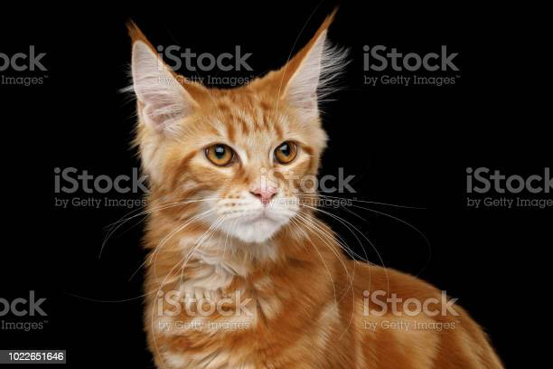 Maine coon cat isolated on black background picture id1022651646?b=1&k=6&m=1022651646&s=612x612&h=a n qfik1xaozgmzmor50ukd9icfqxtn3mtkyawwmri=