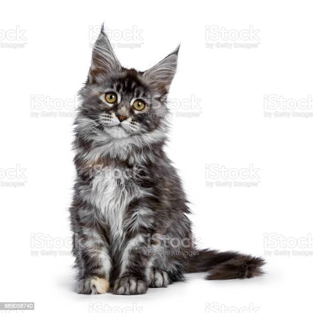 Maine coon cat kitten holy of the schicoons picture id889058740?b=1&k=6&m=889058740&s=612x612&h=xdd6juqc2bnx6hn2dp0chfdfkgbiqweewzo1r0kbzhs=