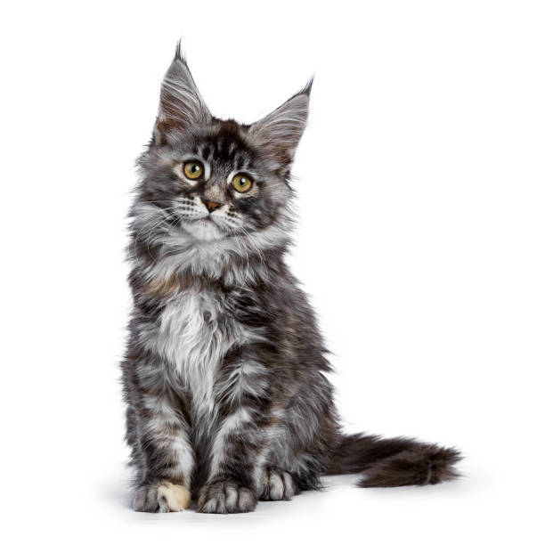 Maine coon cat kitten holy of the schicoons picture id889058740?b=1&k=6&m=889058740&s=612x612&w=0&h=grgwe ozi8rs5glg2 dblm8zz6bf eu32nmy32xtfgy=