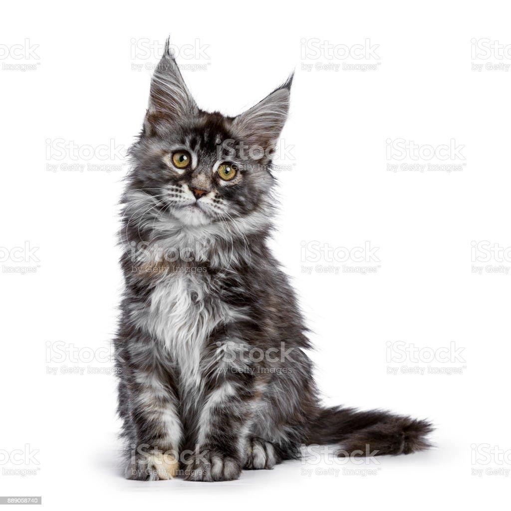 Maine Coon kat kitten heilige van de Schi-Coons foto