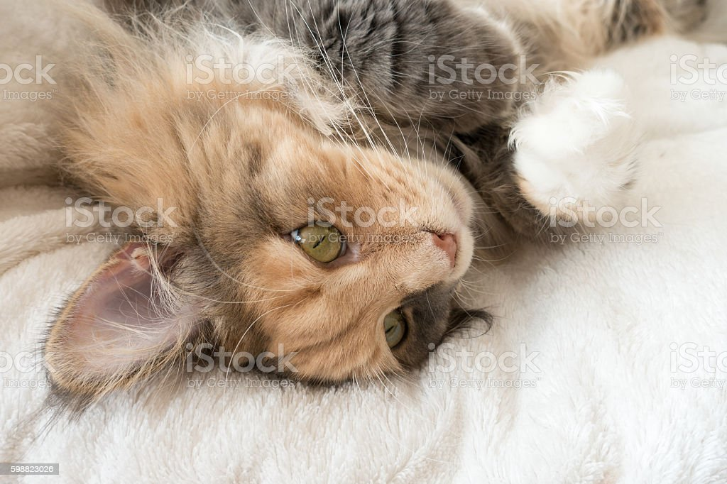 Maine Coon cat laying on cat bed – Foto