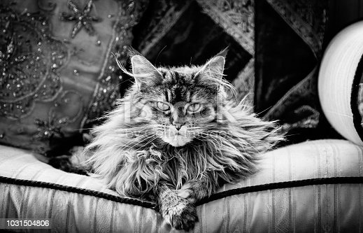 A high contrast black and white image of a Maine Coon cat. The animal is looking directly at the camera and is lying on a sofa cushion.