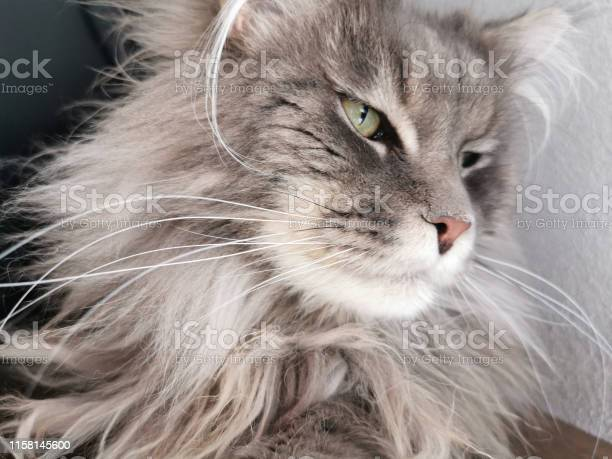 Maine coon cat looking at you picture id1158145600?b=1&k=6&m=1158145600&s=612x612&h=4 vxhuvjnplevhrcl0i wiolb4owaw6t1gebdxv7 oa=