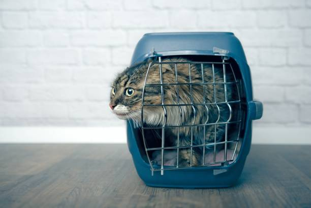 Maine coon cat looking curious out of an open pet carrier picture id1125368454?b=1&k=6&m=1125368454&s=612x612&w=0&h=2iqgjucmb9xm3duv2tc9qtwacmfarogewzpf4y2ezwo=