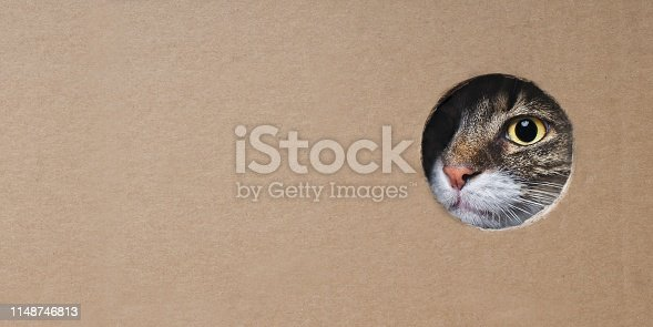 Maine coon cat looking funny out of a hole in a cardboard box. Panoramic image with copy space.