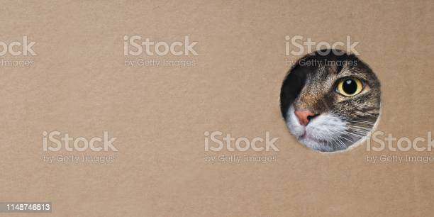Maine coon cat looking funny out of a hole in a cardboard box image picture id1148746813?b=1&k=6&m=1148746813&s=612x612&h=culw ydoq3irvb6jxssrbuzloqhrozrxegltrx7qana=