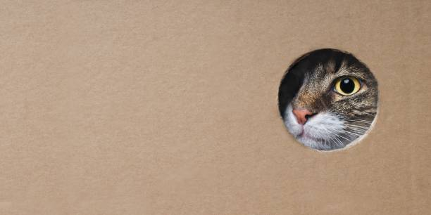 Maine coon cat looking funny out of a hole in a cardboard box image picture id1148746813?b=1&k=6&m=1148746813&s=612x612&w=0&h=nfxzowibyt3dawgzam8z2ttepbs8wxccouaqro5g0qq=