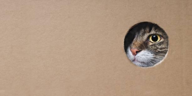 메인 쿤 고양이는 골 판지 상자에 구멍에서 재미를 찾고. 복사 공간이 있는 파노라마 이미지. - 호기심 뉴스 사진 이미지
