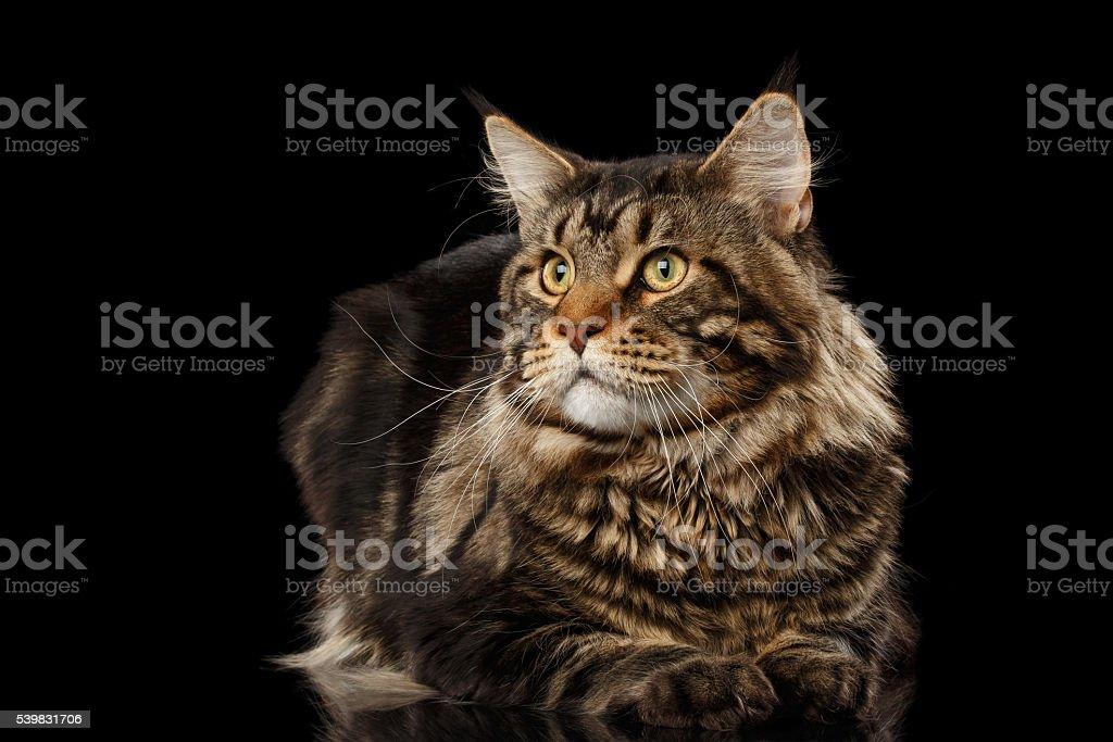 Maine Coon Kot Leży Wygląda Na Stronie Odizolowane Na Czarny