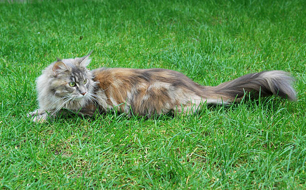 Maine Coon Cat. Lying On the grass stock photo