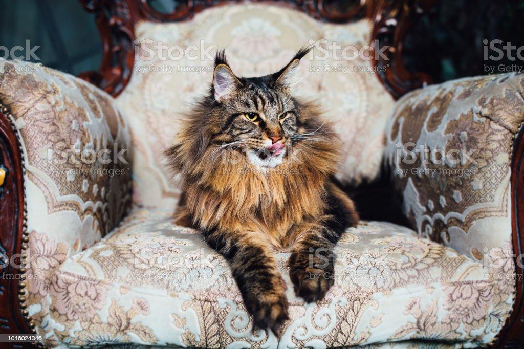Maine Coon Katze Auf Antiken Stuhl Stockfoto Und Mehr Bilder Von Alt Istock