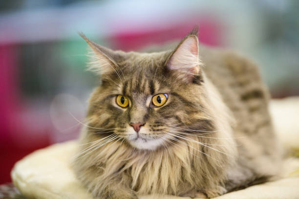 64 Short Haired Maine Coon Stock Photos Pictures Royalty Free Images Istock