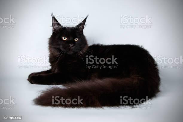 Maine coon cat picture id1027880060?b=1&k=6&m=1027880060&s=612x612&h=484j3 4vzqa4nqoxhw5q5fohgq jyxk6uey wwguslm=