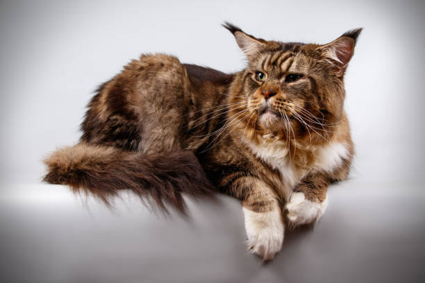 Maine coon cat picture id1055699896?b=1&k=6&m=1055699896&s=612x612&w=0&h=74j4s1anlurdvmidbe4z9u06jlsshp6g4bweutpgzzc=