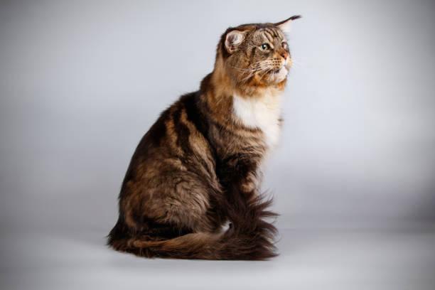 Maine coon cat picture id1055700354?b=1&k=6&m=1055700354&s=612x612&w=0&h=egdzeqzrnzmg8ntuche3nuycv3wqaabamrzm8shp 1a=