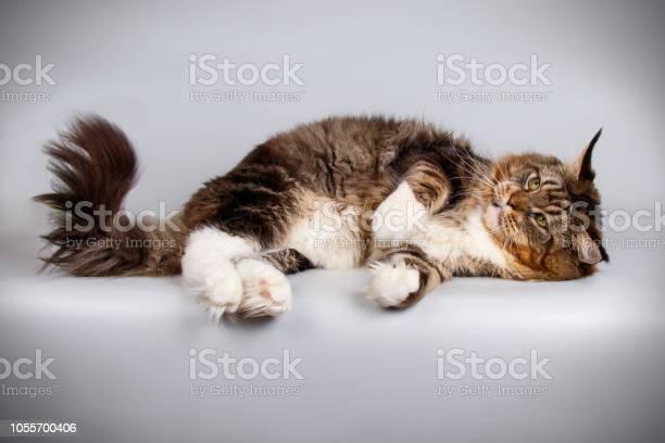 Maine coon cat picture id1055700406?b=1&k=6&m=1055700406&s=612x612&h=tajtges0iqdqzj ky84uryh5zcsokf isq44qz2clzc=