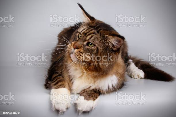 Maine coon cat picture id1055700488?b=1&k=6&m=1055700488&s=612x612&h=m0qdj vmizpo cz2ft6ivkx7snxfdvpwquajfwne 7y=
