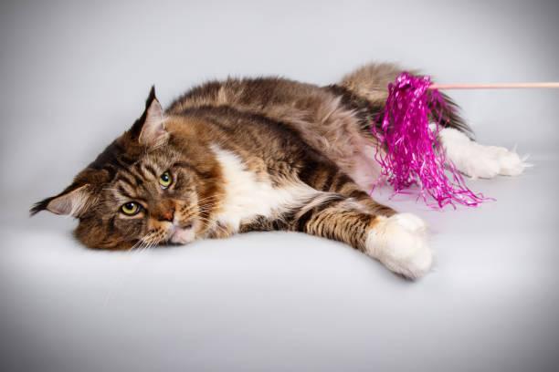 Maine coon cat picture id1055700560?b=1&k=6&m=1055700560&s=612x612&w=0&h=tq3lv6fddfcqdu8nvmhkljs3ly7pq06lqq nt1bjpvq=