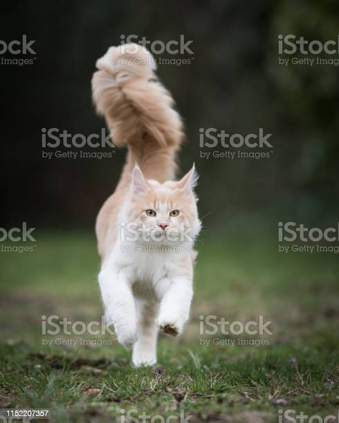 Maine coon cat picture id1152207357?b=1&k=6&m=1152207357&s=612x612&h=5fjqabszubxyhre16vsurnfawe1lh4uf5bmmuk7x mi=