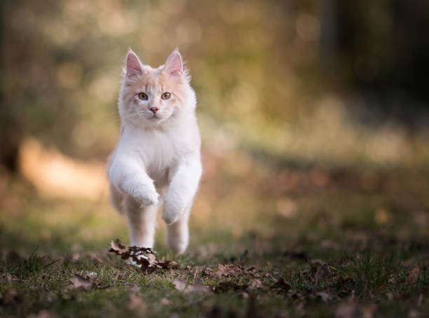 Maine coon cat picture id1152207394?b=1&k=6&m=1152207394&s=612x612&w=0&h=launegggfjqyrrksogfzpu4uh21jqi1drx2nxttgpp0=