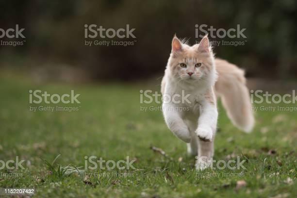 Maine coon cat picture id1152207432?b=1&k=6&m=1152207432&s=612x612&h=irenxzuzahfmvvuxffrywidjzjx2c2o64vdjns04t6m=